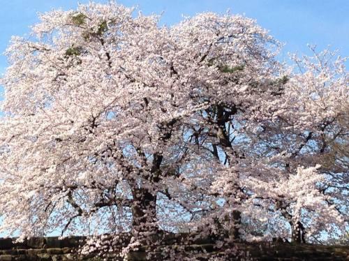 彦根城・桜.jpg