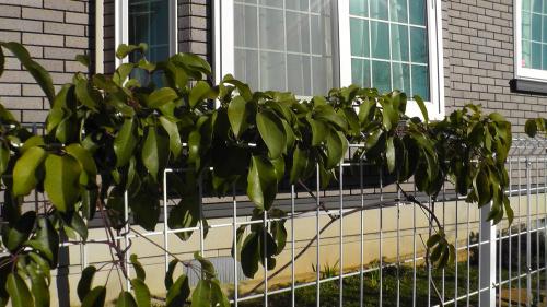 冬のムベの木