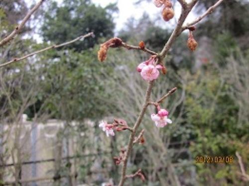 IMG_1820桜.jpg