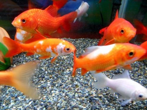 いろんな個性の金魚