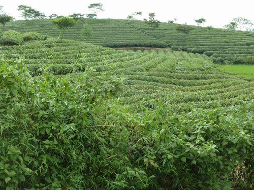 ベトナム茶2.JPG