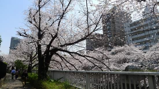 2013神田川の桜3.JPG