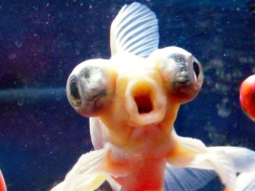 金魚のキス顔