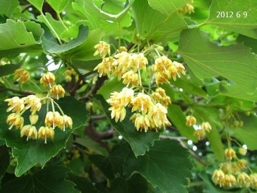 戒壇院菩提樹.JPG