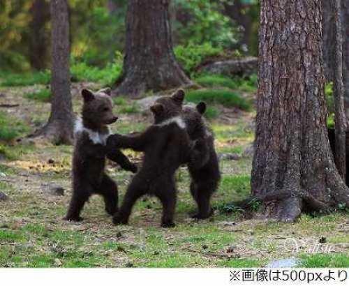 輪になって踊る子グマ3匹-2