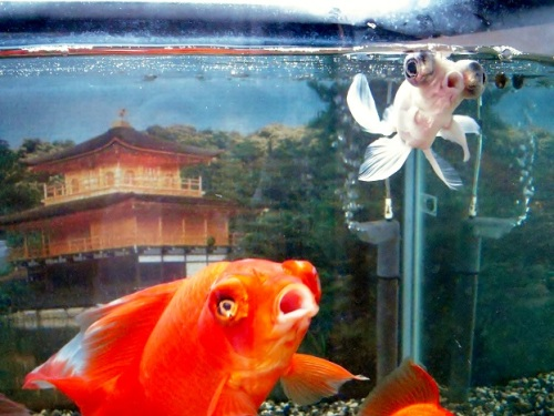 金閣寺と巨大金魚