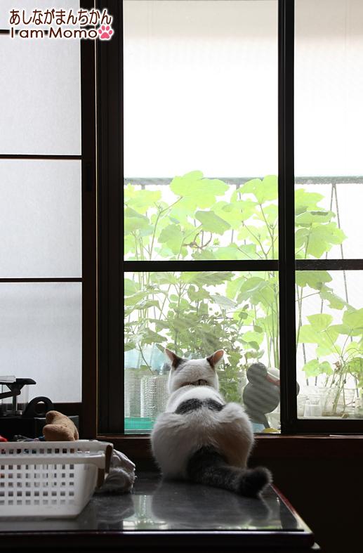 外を見ている猫 足長マンチカン ももちゃん