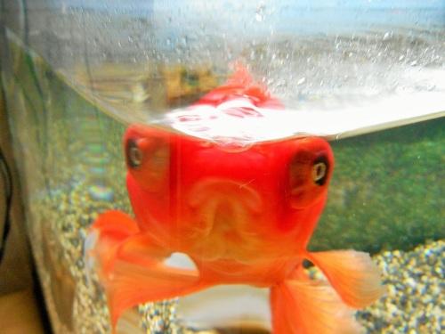 曲げガラス水槽