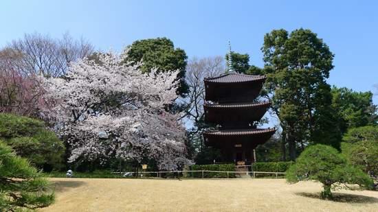 2013椿山荘の桜.JPG