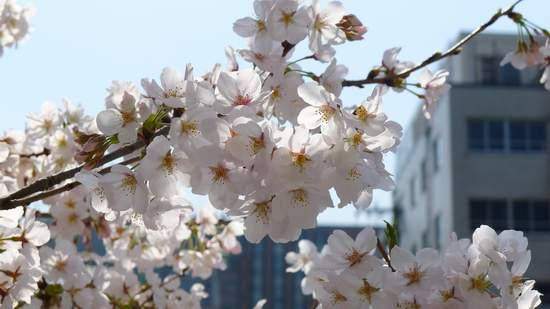 2013神田川の桜4.JPG