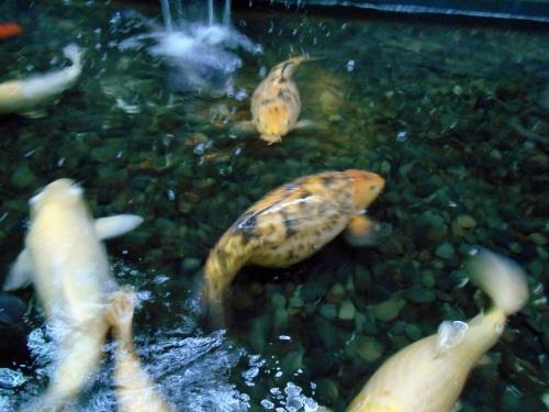 太り過ぎの錦鯉