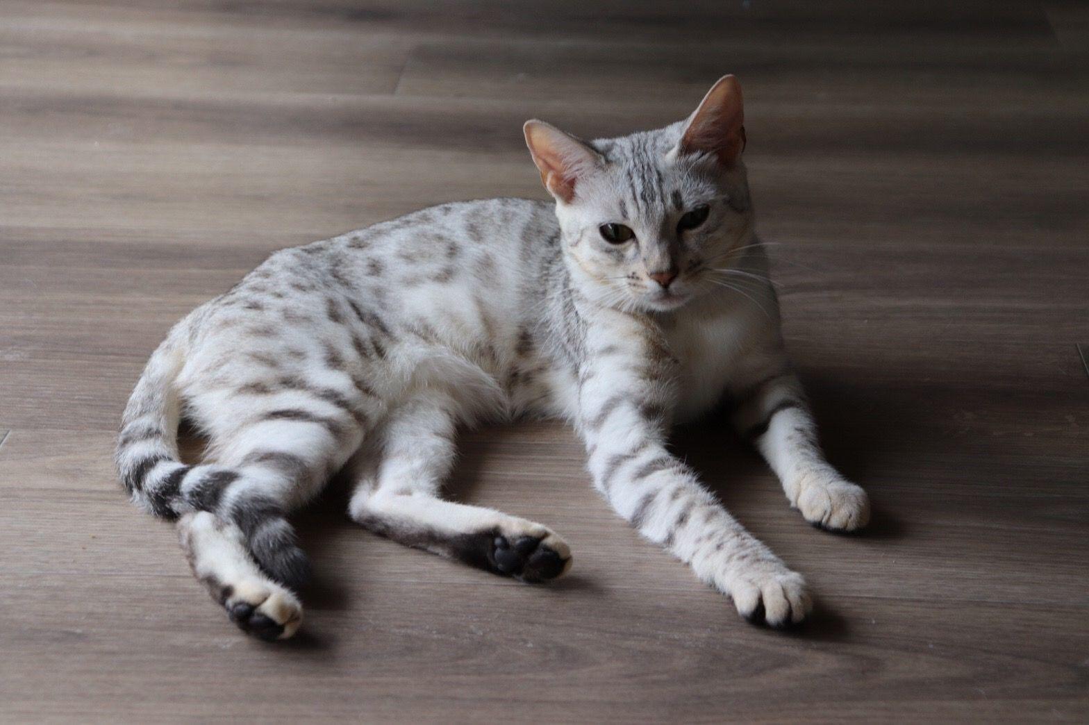 猫 ベンガル