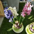 「お届けは1/24〜お部屋に香りの宅急便♪ヒアシンス2鉢セット※ヒヤシンスの花色と、鉢の色はお任せとなります。」の商品レビュー詳細を見る