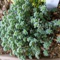 「多肉植物 seセダム ダシフィルム 玉蛋白 タマタンパク 多肉植物 9cmポット」の商品レビュー詳細を見る