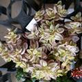 「多肉植物 seクラッスラ ボルケンシー錦 多肉植物 クラッスラ 7.5cmポット」の商品レビュー詳細を見る
