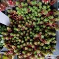「多肉植物 seセダム ステフコ 多肉植物 セダム 9cmポット」の商品レビュー詳細を見る