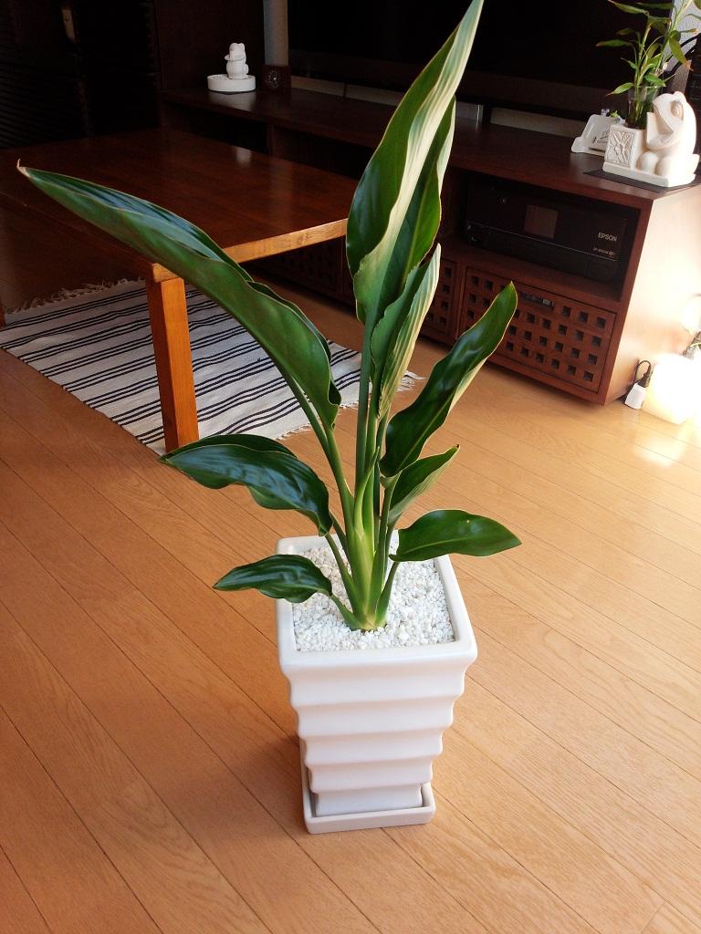 一般的な環境では花を咲かせるのは難しいと花屋さんに言われていたストレリチア レギネ。