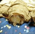 「マナーウェア 高齢犬用 紙オムツ SSS(36枚入)【マナーウェア】」の商品レビュー詳細を見る