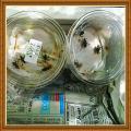 「(昆虫)スズムシ 鈴虫 成虫(5ペア)」の商品レビュー詳細を見る
