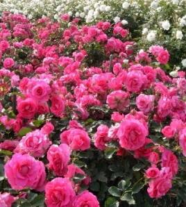 2015-05-rose01