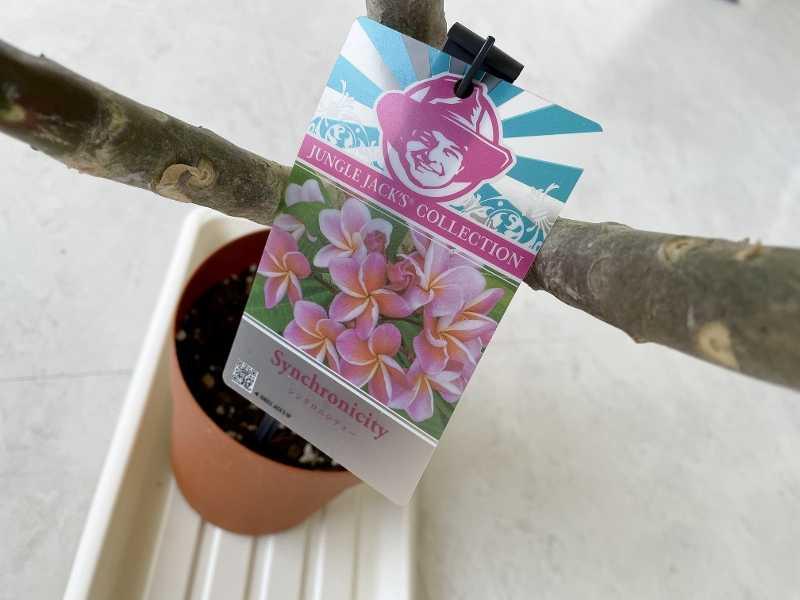 プルメリア Synchronicity シンクロニシティ 鉢植え 花 ジャングルジャックス