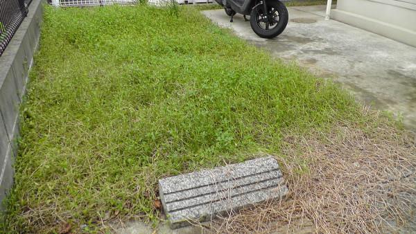 駐車場のコンクリートを覆っていたイワダレソウ(クラピアS1)