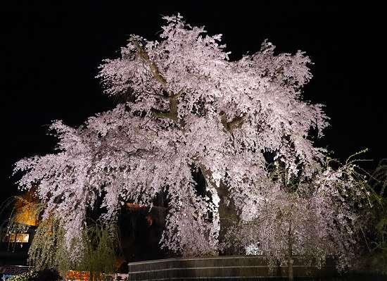 円山公園 夜桜しだれ桜