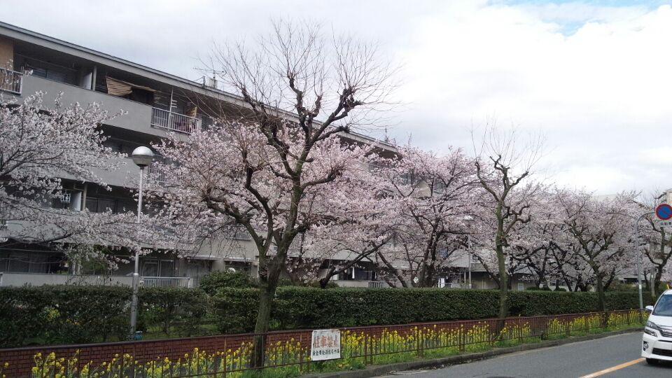 0330 団地桜