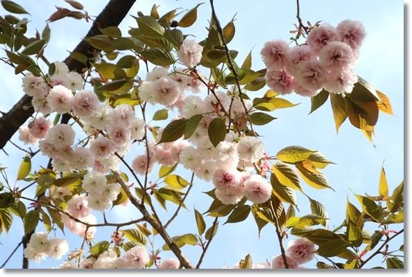 樹木公園-23 普賢象-2 16.4.20