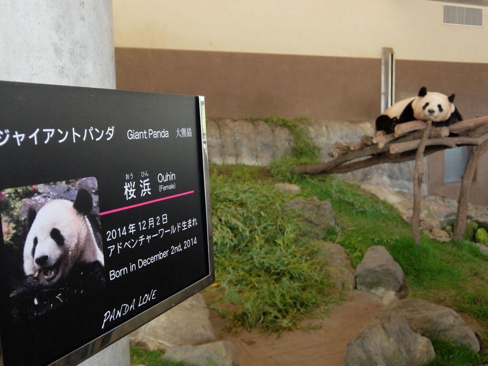 アドベンチャーワールド 白浜 パンダの赤ちゃん 彩浜 和歌山