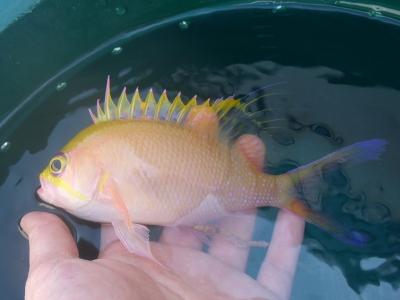 沖縄深海魚採集2013年7月下旬7 イッテンサクラダイ(Odontanthias unimaculatus)