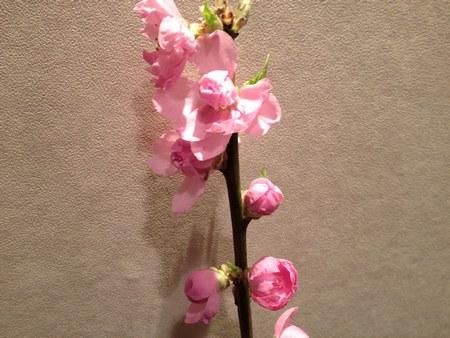 23月8日桃の花 4503.jpg