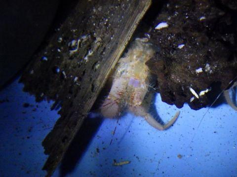 タンカクホンヤドカリ(Propagurus obtusifrons)の脱皮殻3