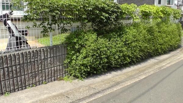 壁に垂れたら水平方向に膨らむイワダレソウ ムベ 生垣