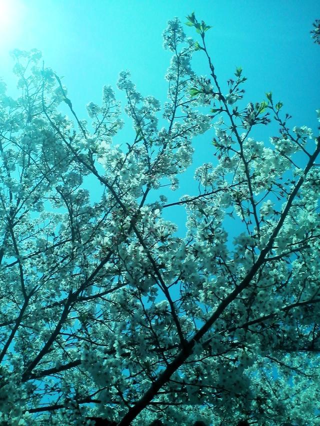 桜 サクラ さくら 新緑 散り際