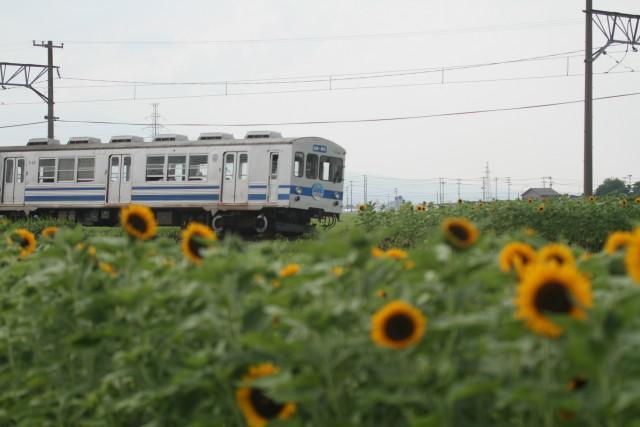 向日葵咲く 弘南鉄道 弘南線5