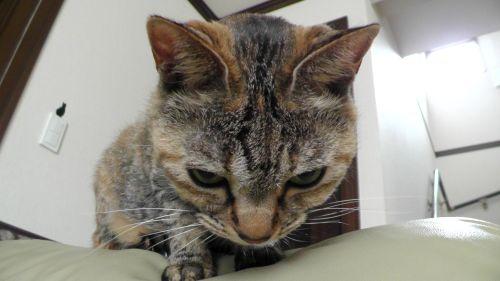 猫 下を見る ねこ ネコ CAT