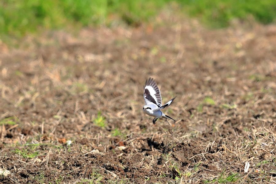 野鳥ブログ イノセントBIRDER