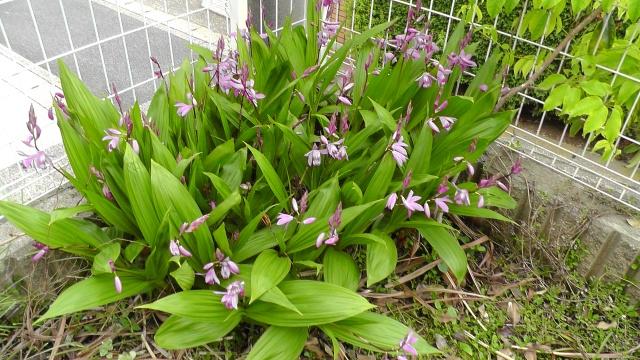 紫蘭 シラン 紫の花