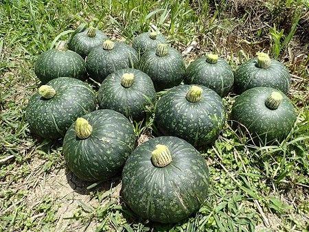 方法 栽培 かぼちゃ の