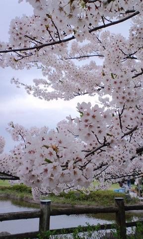日和山桜.jpg