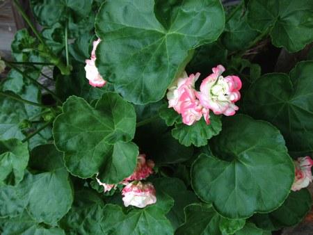 1花ゼラニウム450.jpg