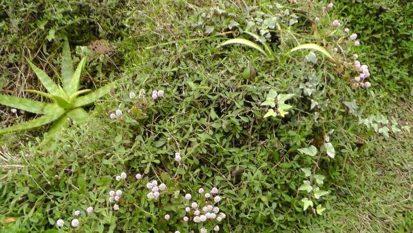 イワダレソウに負けず、かろうじて生き残っている植物たち