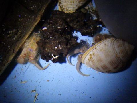 タンカクホンヤドカリ(Propagurus obtusifrons)17 ヨコヤホンヤドカリ