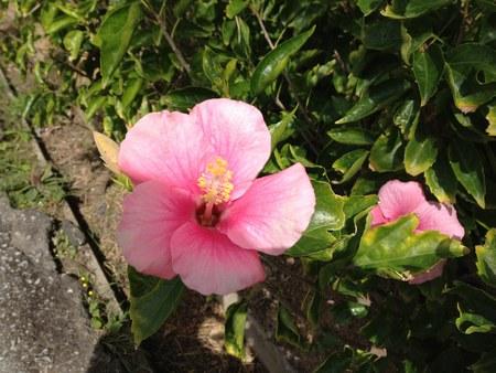 3琉球村花ピンク450.jpg