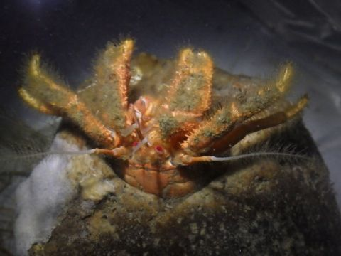カルイシヤドカリ25 Pylocheles mortensenii 深海性ヤドカリ