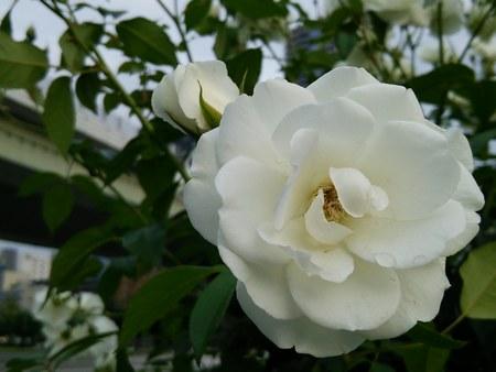 1バラ園黄バラ3450.jpg