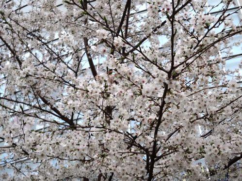 ヒルズ桜2.jpg