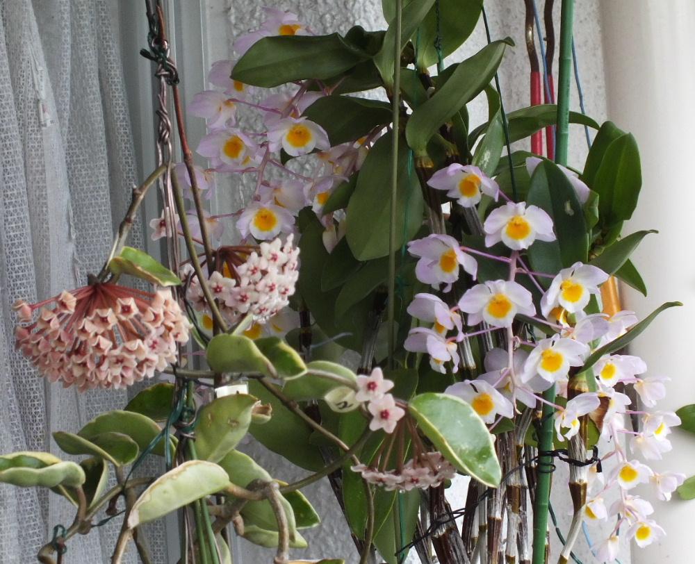 桜蘭とアマビレ
