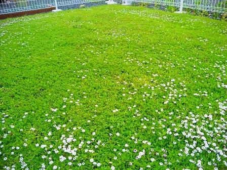クラピアの混植エリアでの花数1
